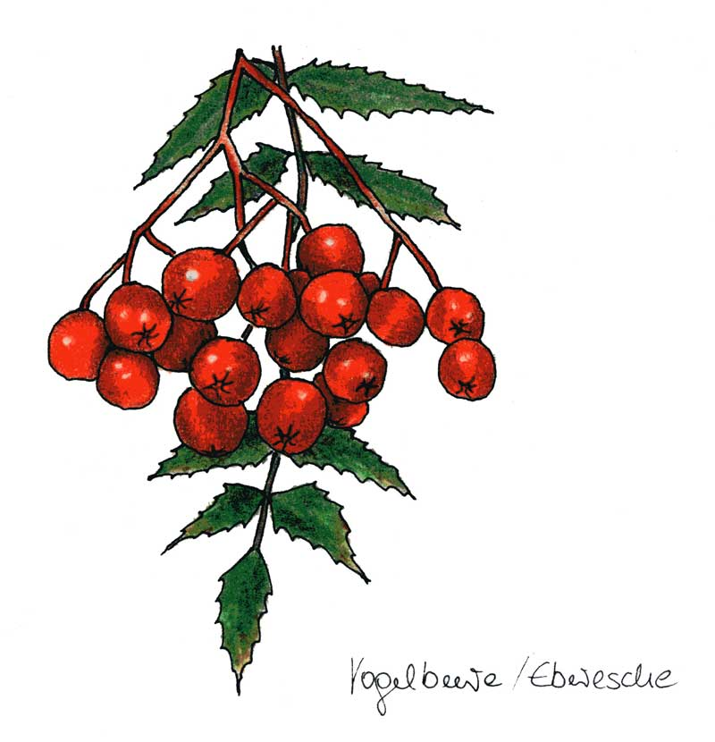 Illustration, Rezeptbuch Beeren